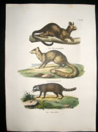 Schinz 1845 Antique Hand Col Print. Raccoon 25